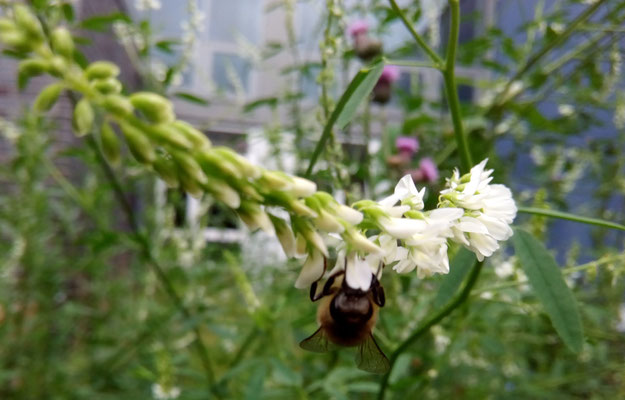 """Die Bienen """"laufen"""" einfach von Blüte zu Blüte."""