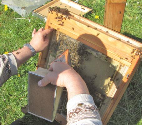 Mit etwas Rauch werden die Bienen in den Kasten gescheucht, die sonst beim Auflegen der Glasplatte gequetscht werden.