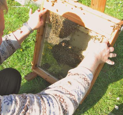Ganz vorsichtig, ohne Bienen zu quetschen, wird langsam die Glasplatte angedrückt. Es reicht, Bienen hierbei leicht zu drücken, damit sie weichen.