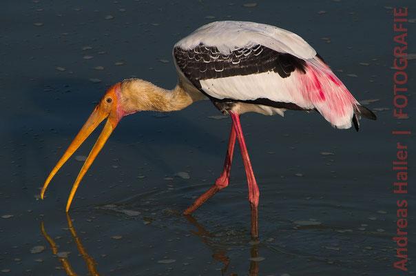 Buntstorch auf Nahrungssuche im Yala-Nationalpark