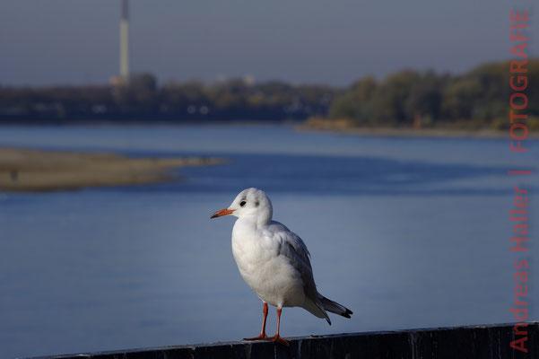 Herbst am Rhein im Kölner Norden