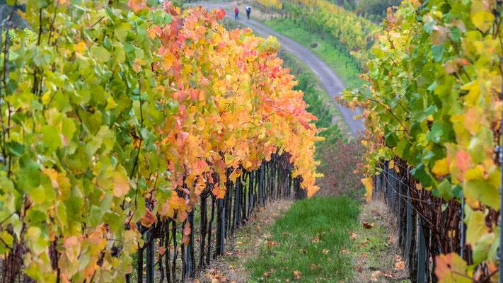 Weinreben im Kaiserstuhl