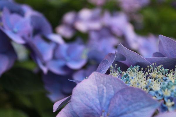 Wunderschöne Hortensienblüten ...