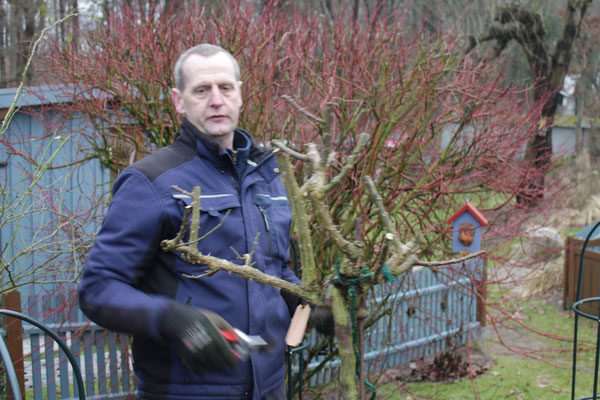 Rosen schneiden am Hochstamm, eine Kaskakadenrose stark zurückschneiden