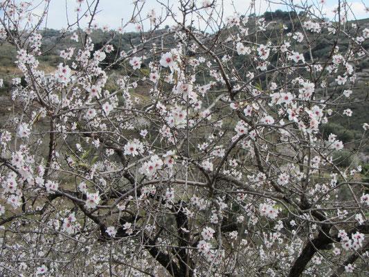es blühen schon die Mandelbäume
