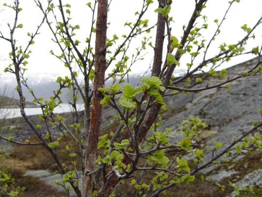 Und hier treiben die ersten grünen Blätter hervor