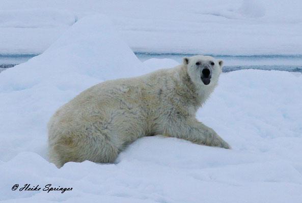 Eisbär im Packeis - Er steckt den Fotografen die Zunge raus
