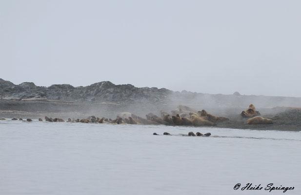 Walrosse auf Storoya