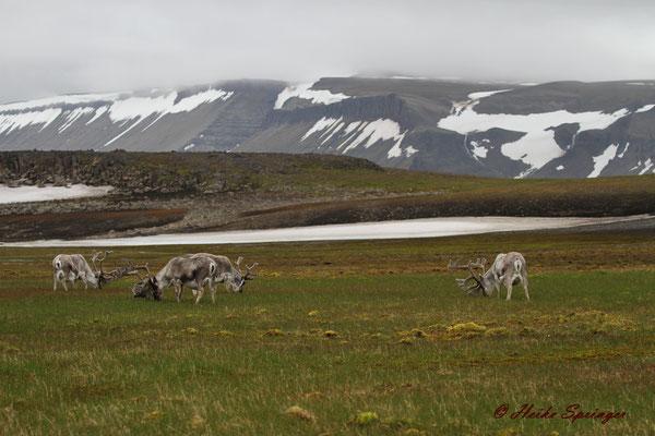 Spitzbergenrentiere