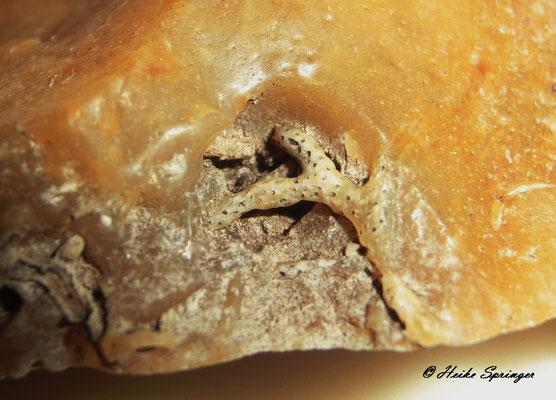 Moostierchen (Bryozoen)