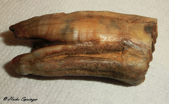 Fossiler Pferdezahn  6,5cm lang