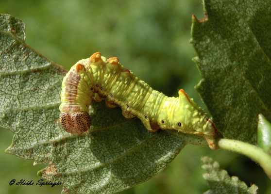 Raupe Dromedar-Zahnspinner