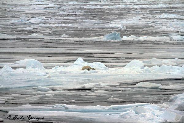 Eisbär im Packeis