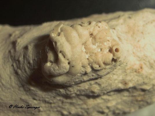 Fossiler Kalkröhrenwurm