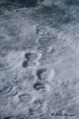 Spuren vom nächtlichen Besucher  - Ein Eisbär