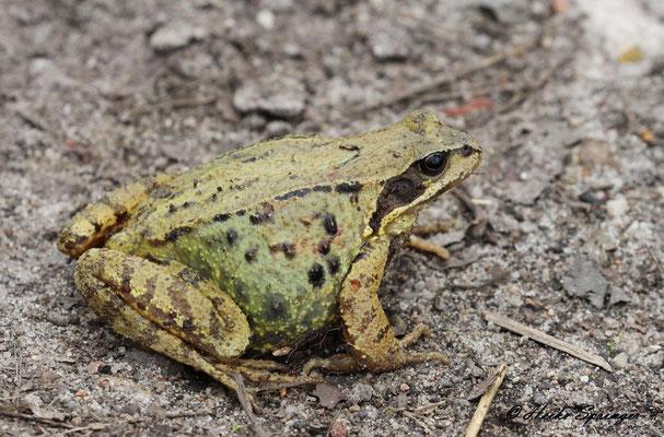 Grasfrosch  (Weibchen mit dickem Laichbauch)