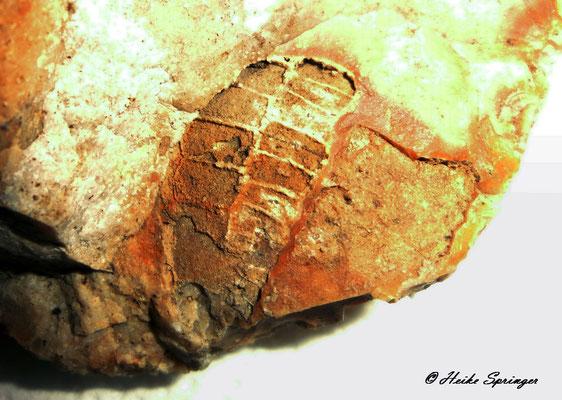 Echinocorys sp. (Teilabdruck vom Seeigel)