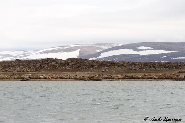 Walrosse im Storefjord