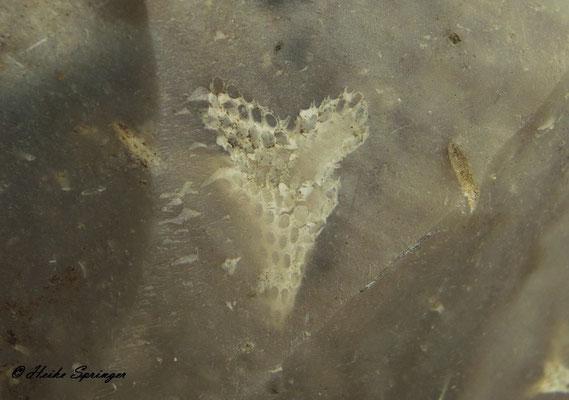 Moostierchen (Bryozoen)  9mm hoch, 6mm breit