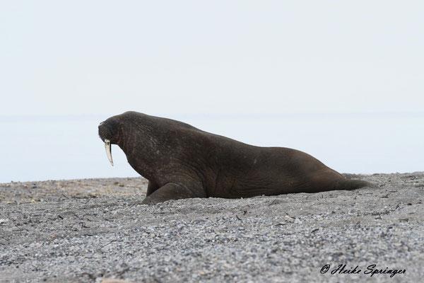 Walross auf der Wahlberginsel
