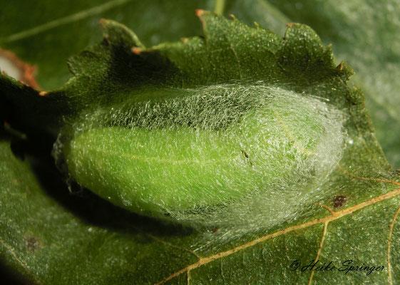 Buchen-Kahneulchen (Die Raupe spinnt sich für die Verpuppung in einen Kokon ein)