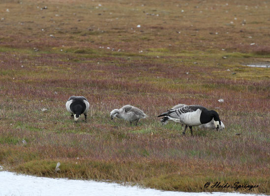 Weißwangengänse bei Longyearbyen