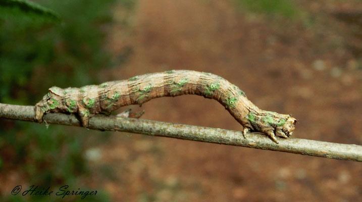 Doppelzahnspanner (Odontopera bidentata)