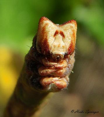 Birkenspanner  (Kopf)
