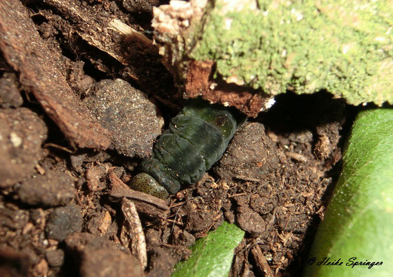 Raupe des Dromedar-Zahnspinner auf der Suche nach einem Platz zum verpuppen