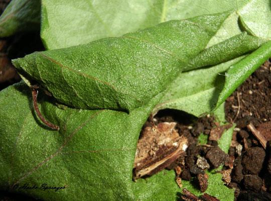 Raupe des Dromedar-Zahnspinner im Birkenblatt eingesponnen