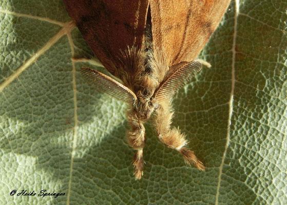 Schlehen-Bürstenspinner (männlicher Falter)
