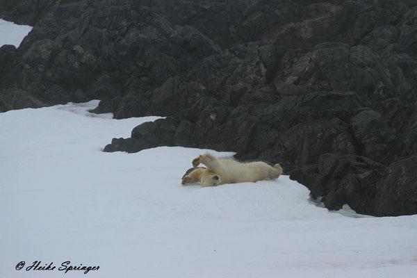 Eisbär im Nebel auf Storoya