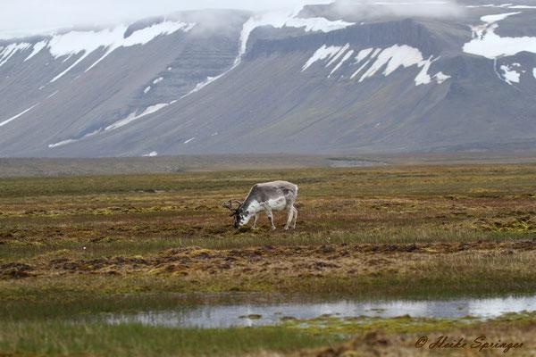 Spitzbergenrentier