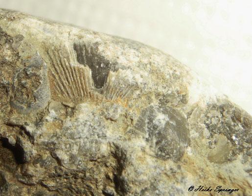 Brachiopodenabdrücke