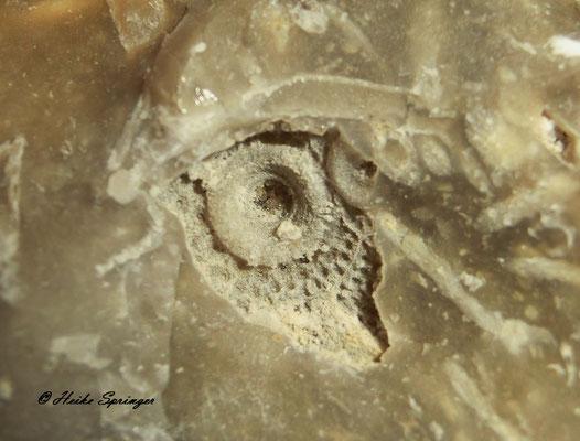 Stachelhäuter - Seeigel - Turbanigel (Abdruck einer Einzelplatte)