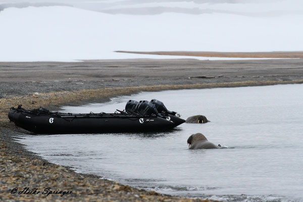 Walrosse auf der Wahlberginsel