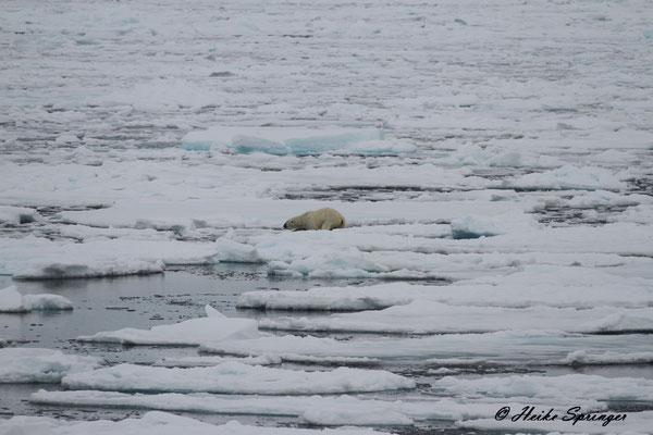 Der 03:30h Eisbär
