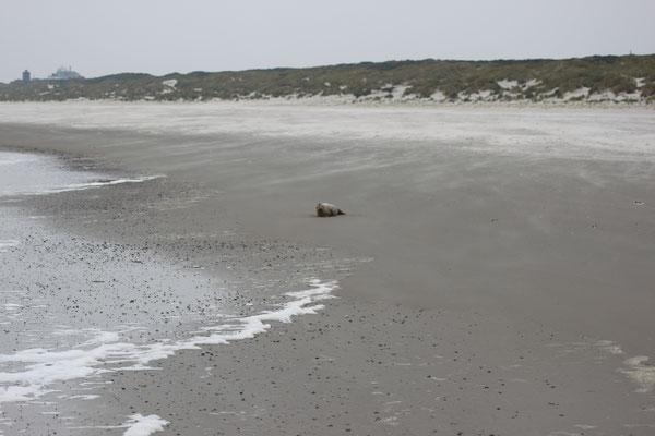 Seehund am Juister Strand