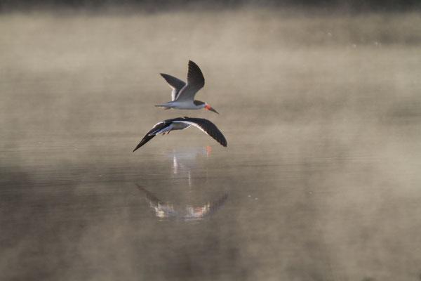 Schwarzmantelscherenschnabel - Pantanal, Brasilien