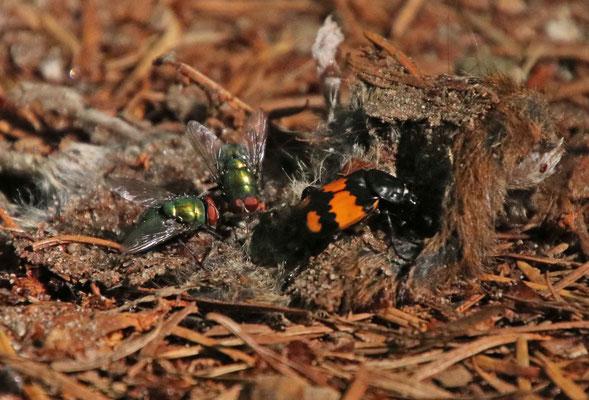 habe keine morbiden Gedanken, aber sehe halt auch die schönen Käfer auf totem Getier, hier auf einer Maus