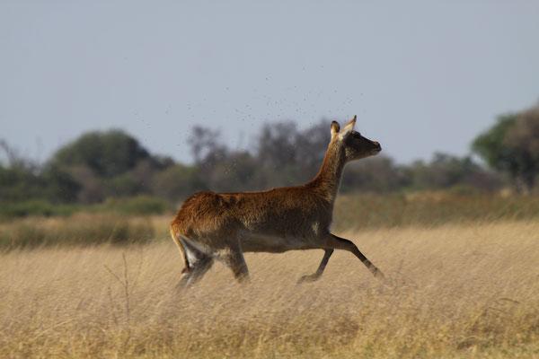 Moorantilope - Camp Moremi, Afrika