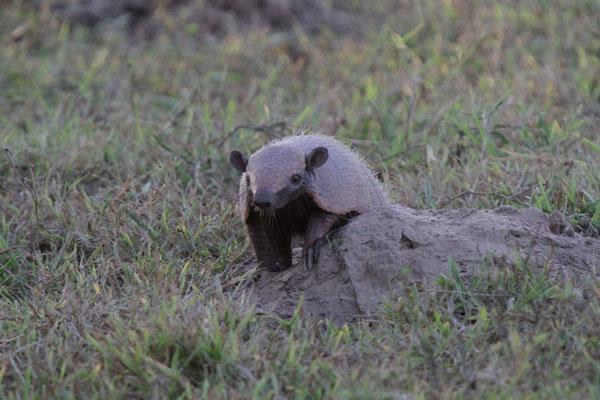 Gürteltier - Pantanal, Brasilien