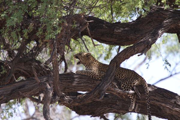 Leopard - Savute + Camp Moremi, Afrika