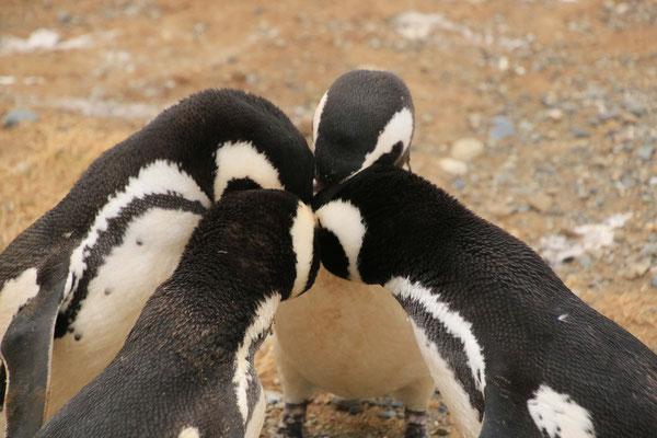 Magellan Pinguine - Isla Magdalena, Punta Arenas, Chile