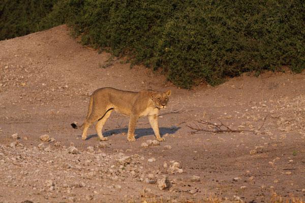 Löwe - Camp Moremi, Afrika