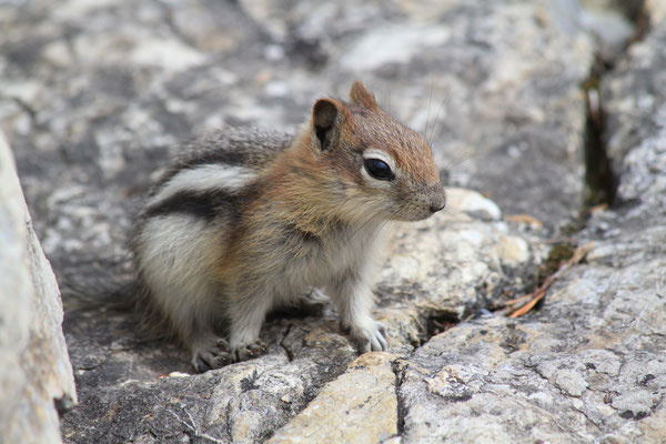 Streifenhörnchen - Kanada
