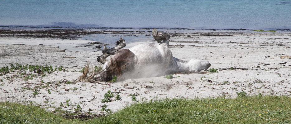 Pferd am Strand - Schottland