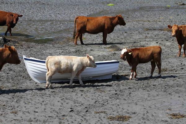 Kühe am Strand - Schottland