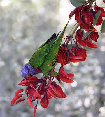 Papagei - Australien
