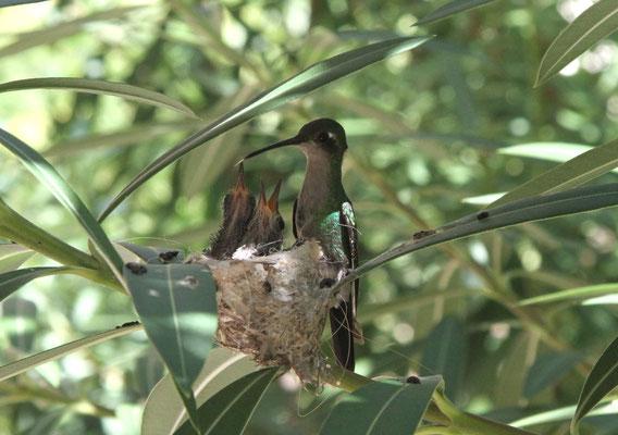 Zun Zun bzw. Kuba-Smaragdkolibri sowie Bienenelfe, Kubaelfe, Hummelkolibri oder Elfenkolibri genannt - Kuba